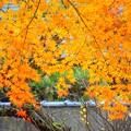 萌える明月院の紅葉 #鎌倉 #北鎌倉 #湘南 #明月院 #寺 #紅葉 #kamakura #temple #autumnleaves