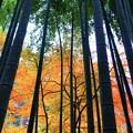 明月院竹林と紅葉 #鎌倉 #北鎌倉 #湘南 #明月院 #寺 #紅葉 #kamakura #temple #autumnleaves