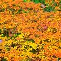 満天星躑躅の紅葉@明月院 #鎌倉 #北鎌倉 #湘南 #明月院 #寺 #紅葉 #kamakura #temple #autumnleaves