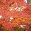 あじさい寺明月院の紅葉 #鎌倉 #北鎌倉 #湘南 #明月院 #寺 #紅葉 #kamakura #temple #autumnleaves