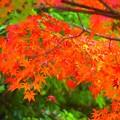 色鮮やかな鶴岡八幡宮の紅葉 #鎌倉 #神社 #shrine #紅葉 #autumnleaves #kamakura #鶴岡八幡宮