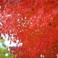 赤く染まる鶴岡八幡宮の紅葉 #鎌倉 #神社 #shrine #紅葉 #autumnleaves #kamakura #鶴岡八幡宮