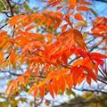 七竈の紅葉@鶴岡八幡宮 #鎌倉 #神社 #shrine #紅葉 #autumnleaves #kamakura #鶴岡八幡宮