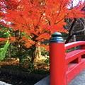 赤く染まる紅葉@鶴岡八幡宮 #鎌倉 #神社 #shrine #紅葉 #autumnleaves #kamakura #鶴岡八幡宮