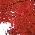 萌える紅葉@鶴岡八幡宮 #鎌倉 #神社 #shrine #紅葉 #autumnleaves #kamakura #鶴岡八幡宮