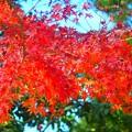 披露山公園の紅葉 #湘南 #逗子 #zushi #shonan #sea #紅葉