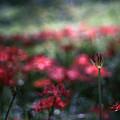 写真: Crimson Bubble.......
