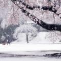 Photos: 春吹雪.......