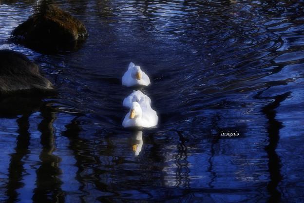 Photos: アフラックの池割り.......