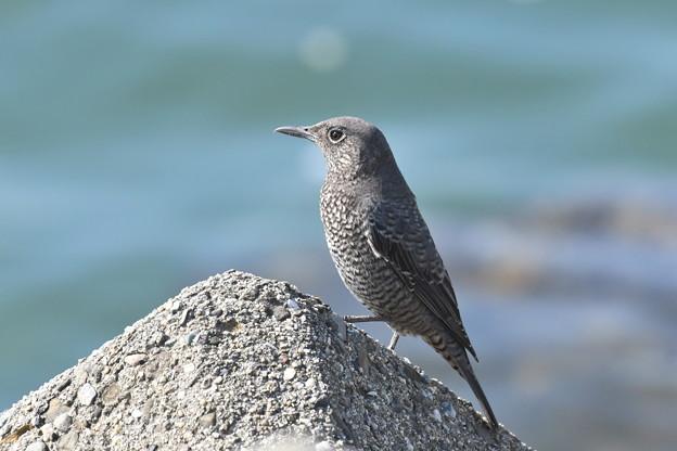 イソヒヨドリ 雌