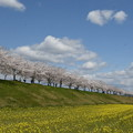 Photos: 桜並木と菜の花