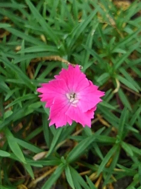 庭の赤い星みたいな花