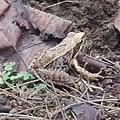 烏ヶ森公園の生き物(カエル)