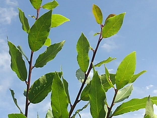 庭の葉と青空・緑色編