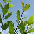 Photos: 庭の葉と青空・緑色編