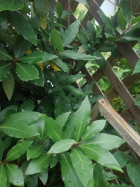 格子状の壁と葉(7月23日)
