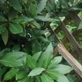 Photos: 格子状の壁と葉(7月23日)