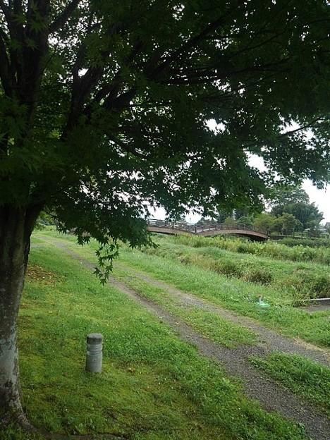 川崎城跡公園の青モミジと奥に小さく見える橋
