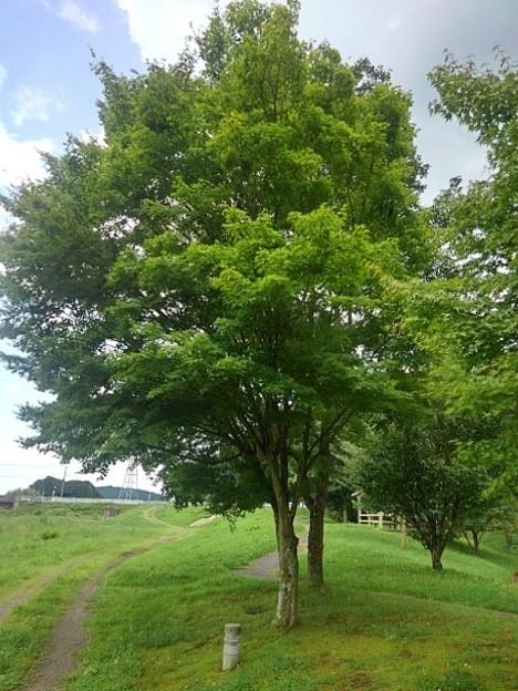 川崎城跡公園の青モミジの並木