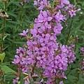道の駅の紫の花