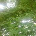 公園の青モミジ(8月9日)