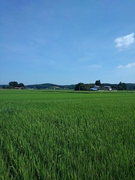 8月19日の水田