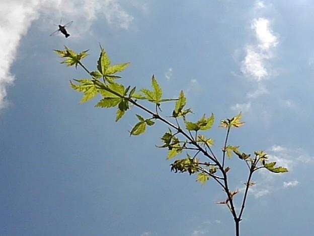 青モミジの枝(8月28日)