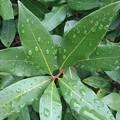 Photos: 雨上がりの葉(9月2日)