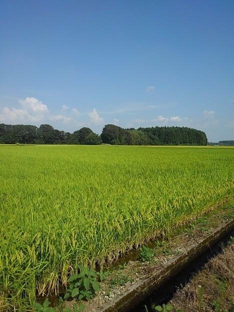 Photos: 黄金色に近づきつつある田園地帯(8月29日)