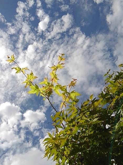 万華鏡のようなモミジと鱗雲(撮影日:2020年9月8日)