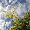 Photos: 万華鏡のようなモミジと鱗雲(撮影日:2020年9月8日)