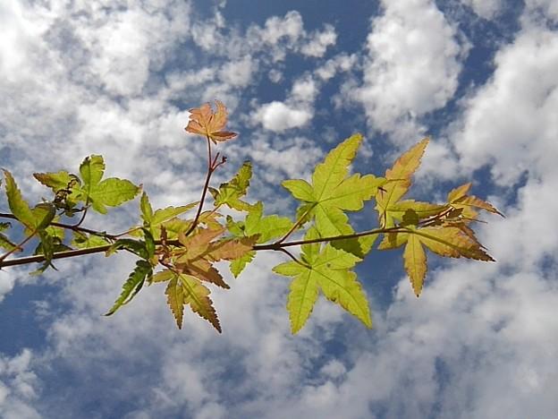Photos: 綺麗なモミジと綺麗な鱗雲(撮影日:2020年9月8日)