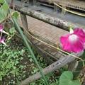 道の駅やいたの赤紫のアサガオ(9月15日)
