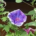 9月の道の駅のアサガオ(紫)