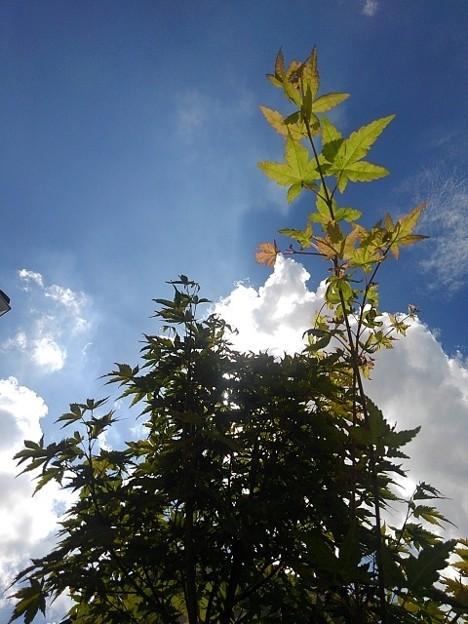 伸びるモミジの枝(9月11日)