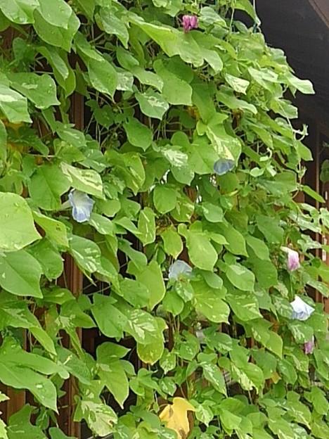緑のカーテンと9月でも咲くアサガオの花