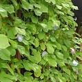 Photos: 緑のカーテンと9月でも咲くアサガオの花
