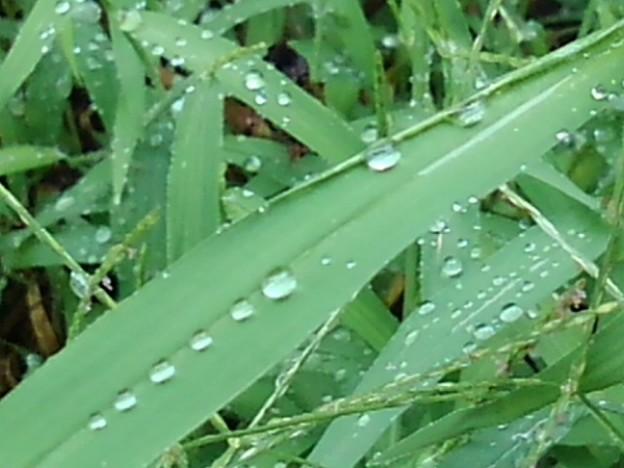 細長い葉と雫(9月12日)