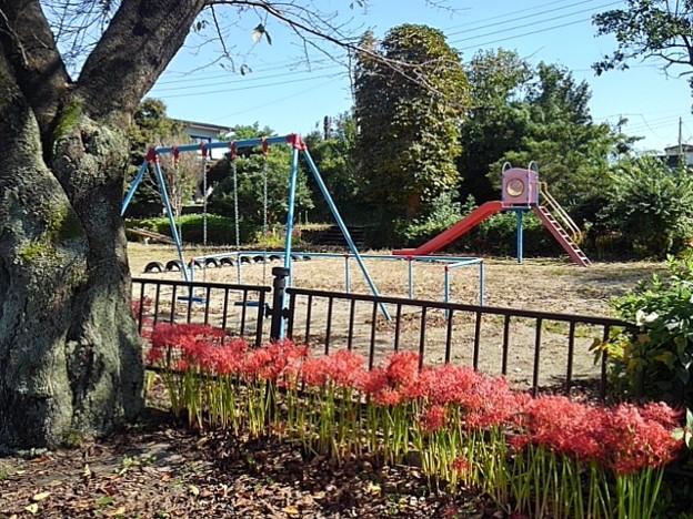 小さな公園のヒガンバナ(9月30日) (1)
