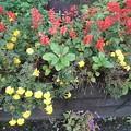 矢板駅のサルビアとマリーゴールドの花壇(10月9日)