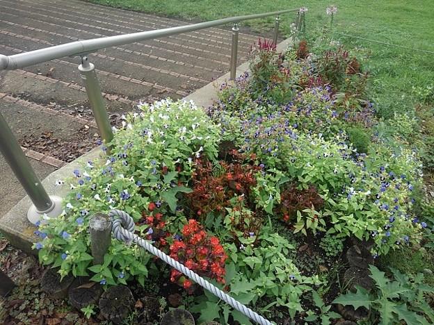 ベゴニアもある階段花壇(9月20日)