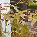 Photos: モミジ横長(10月1日)