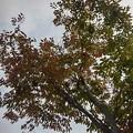 Photos: 街路樹(10月3日)