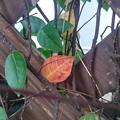 Photos: 格子状の壁と赤い葉(10月4日)