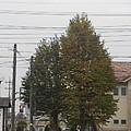 Photos: 街路樹(10月5日)