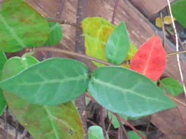 小さな赤い葉(10月4日)