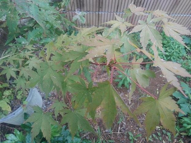 庭の赤い葉と入り混じるモミジ(10月5日)