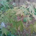 Photos: 庭の赤い葉と入り混じるモミジ(10月5日)
