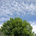 Photos: 鱗雲と緑色の葉の木(10月7日)