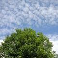 鱗雲と緑色の葉の木(10月7日)